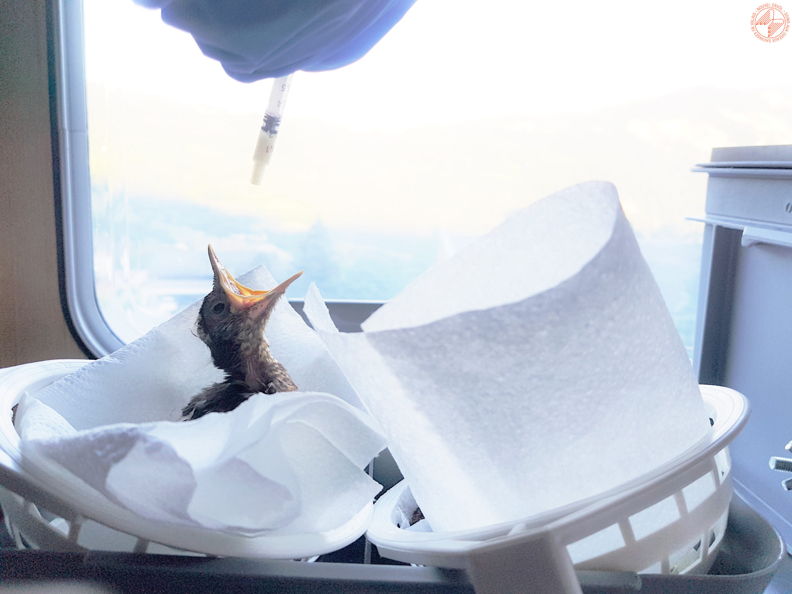 Nourrissage d'un jeune merle orphelin, retrouvé au sol et recouvert de fourmis